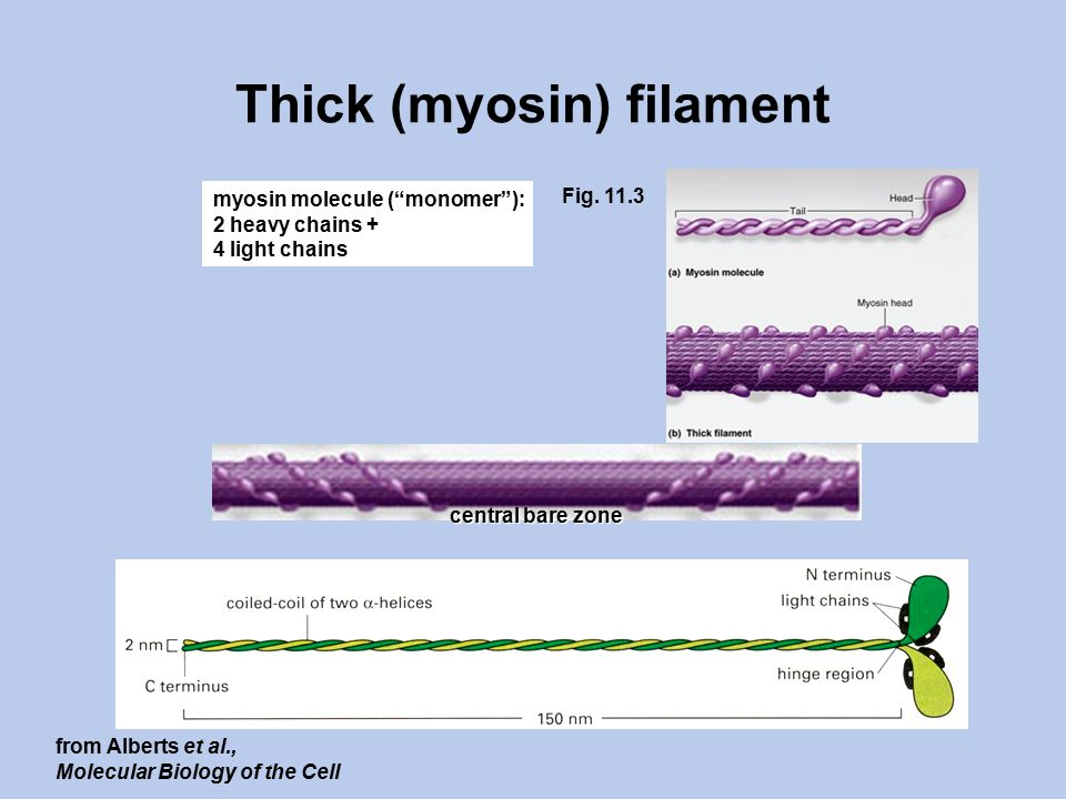 Thick (myosin) filament myosin molecule ( monomer ): 2 heavy chains + 4 light chains Fig.