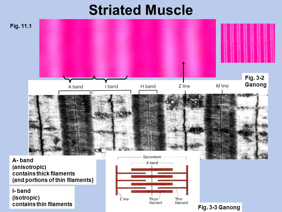 Striated Muscle A- band (anisotropic) contains thick filaments (and portions of thin filaments) I- band (isotropic) contains thin filaments Fig.