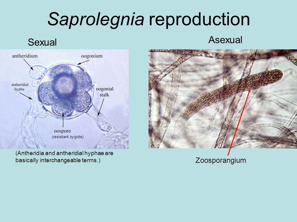 Saprolegnia reproduction Sexual Asexual Zoosporangium (resistant zygote) (Antheridia and antheridial hyphae are basically interchangeable terms.)
