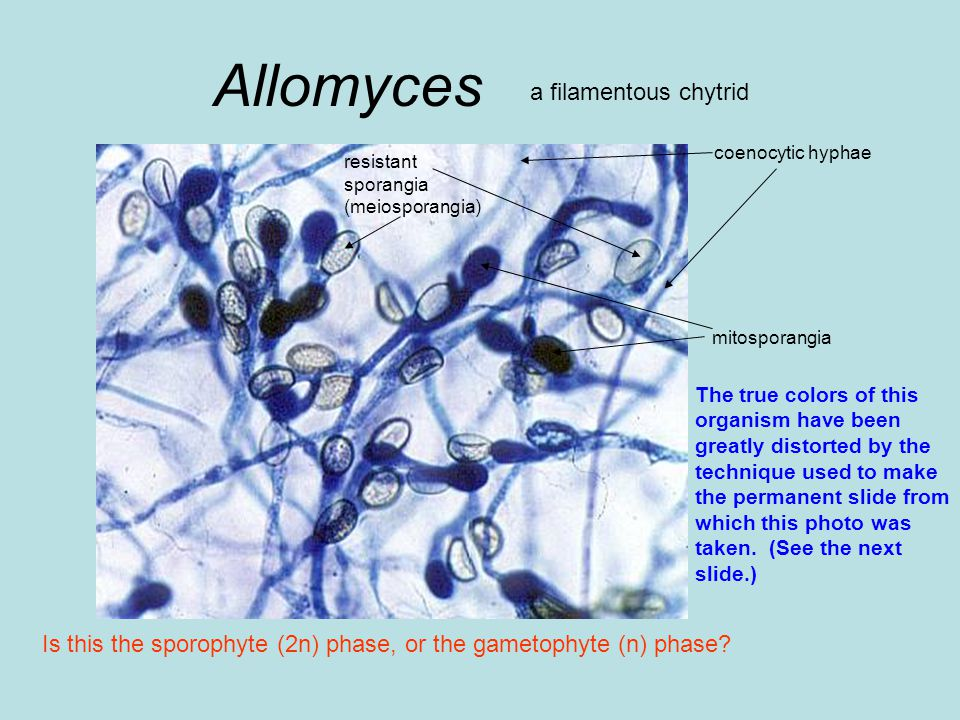 Allomyces a filamentous chytrid coenocytic hyphae Is this the sporophyte (2n) phase, or the gametophyte (n) phase.