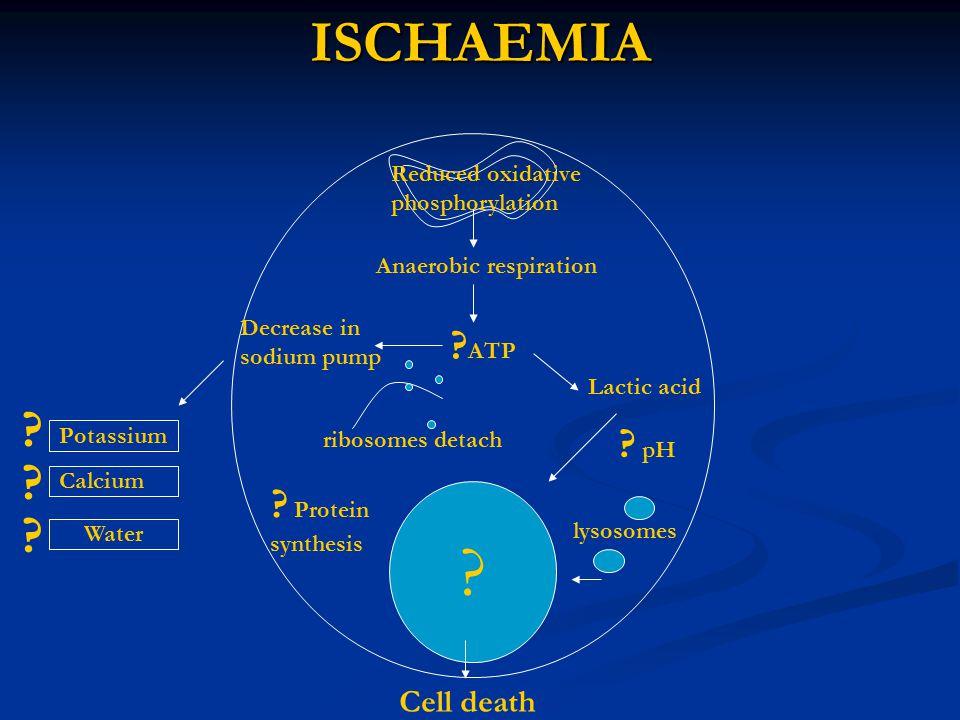 ISCHAEMIA Reduced oxidative phosphorylation Anaerobic respiration Potassium Water Calcium ? ATP Decrease in sodium pump Lactic acid ? lysosomes Cell d