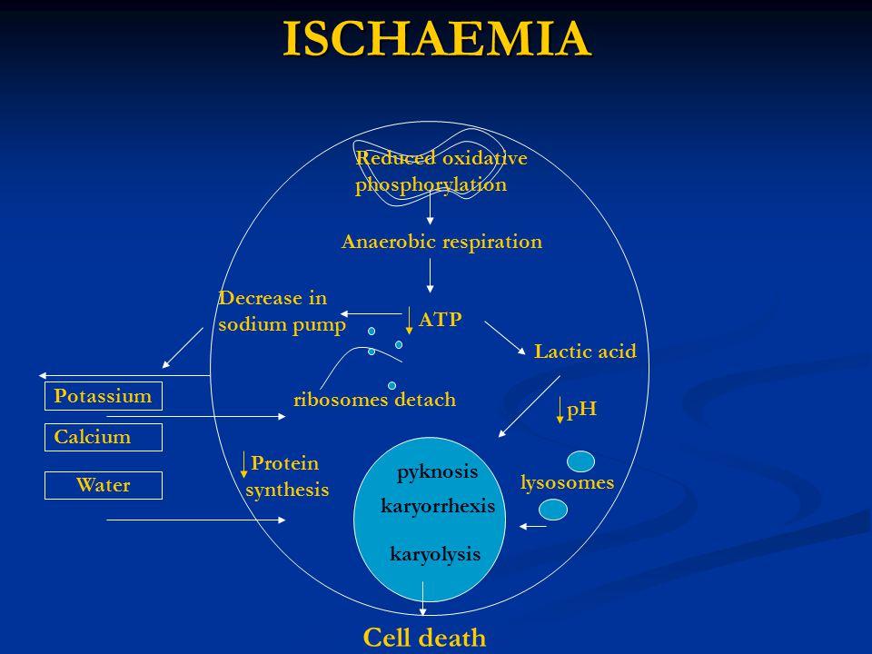 ISCHAEMIA Reduced oxidative phosphorylation Anaerobic respiration Potassium Water Calcium ATP Decrease in sodium pump Lactic acid lysosomes Cell death