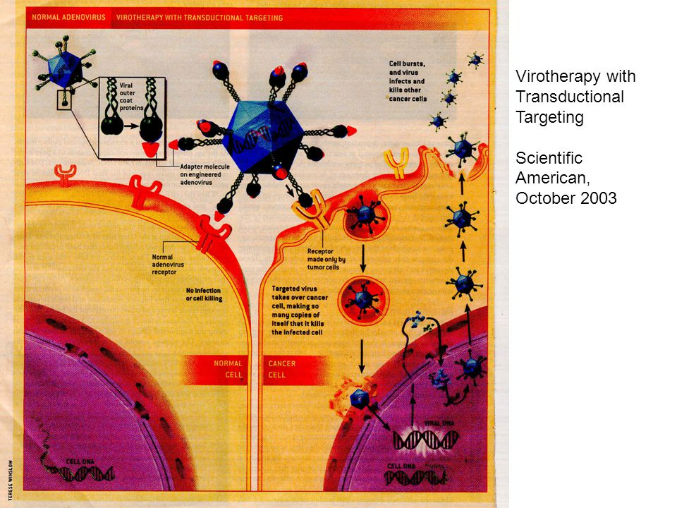 Virotherapy with Transductional Targeting Scientific American, October 2003