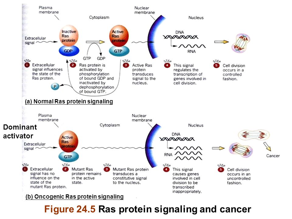 Figure 24.5 Ras protein signaling and cancer Dominant activator (a) Normal Ras protein signaling (b) Oncogenic Ras protein signaling