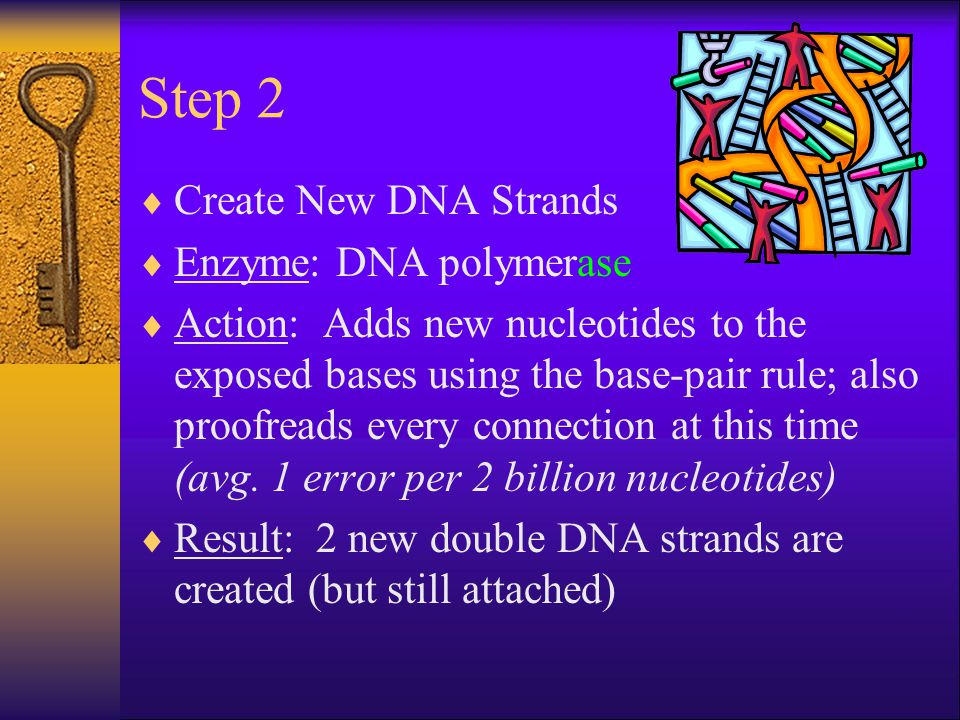 Step 2  Create New DNA Strands  Enzyme: DNA polymerase  Action: Adds new nucleotides to the exposed bases using the base-pair rule; also proofreads every connection at this time (avg.