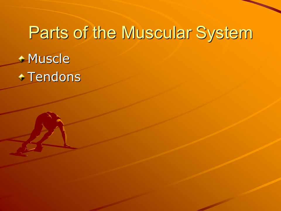 Parts of the Muscular System MuscleTendons