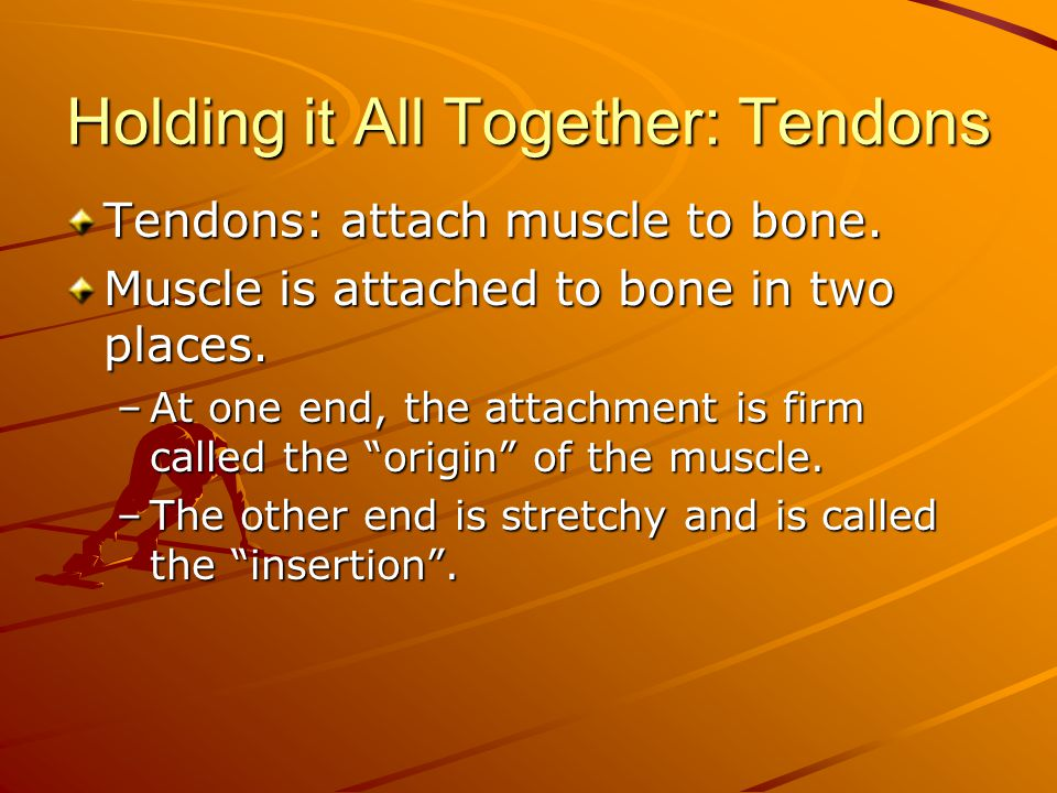 Holding it All Together: Tendons Tendons: attach muscle to bone. Muscle is attached to bone in two places. –At one end, the attachment is firm called