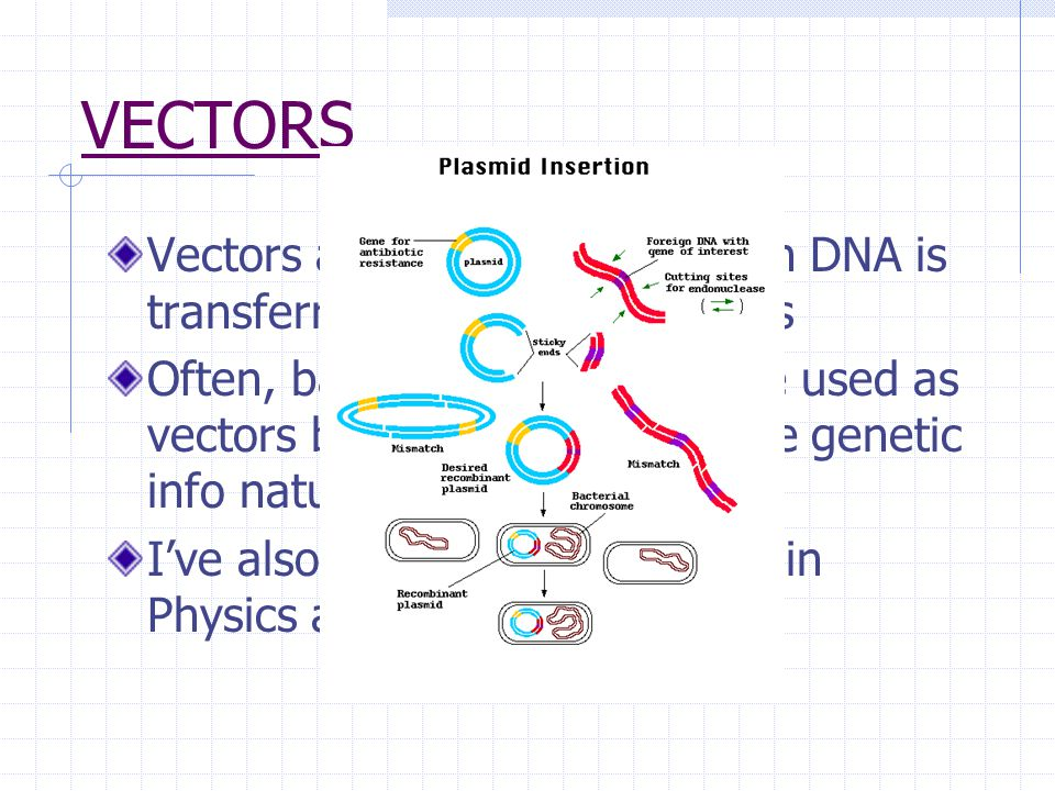 VECTORS Vectors are vehicles by which DNA is transferred between organisms Often, bacteria and viruses are used as vectors because they exchange genetic info naturally.