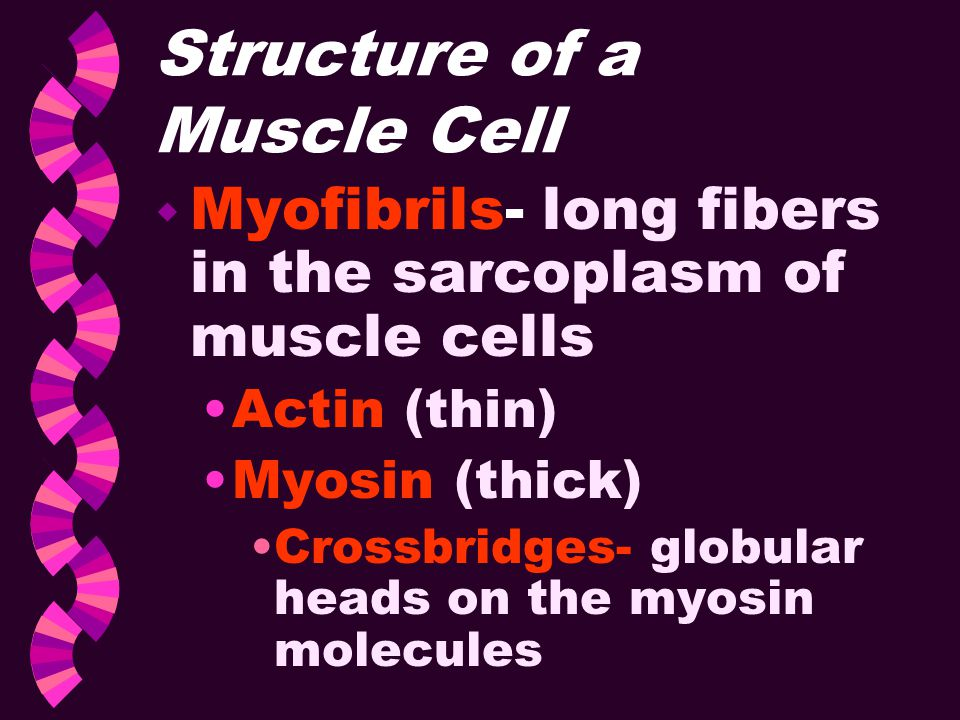 Structure of a Muscle Cell w Myofibrils- long fibers in the sarcoplasm of muscle cells Actin (thin) Myosin (thick) Crossbridges- globular heads on the
