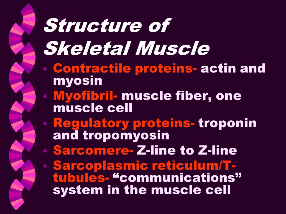 Structure of Skeletal Muscle w Contractile proteins- actin and myosin w Myofibril- muscle fiber, one muscle cell w Regulatory proteins- troponin and t