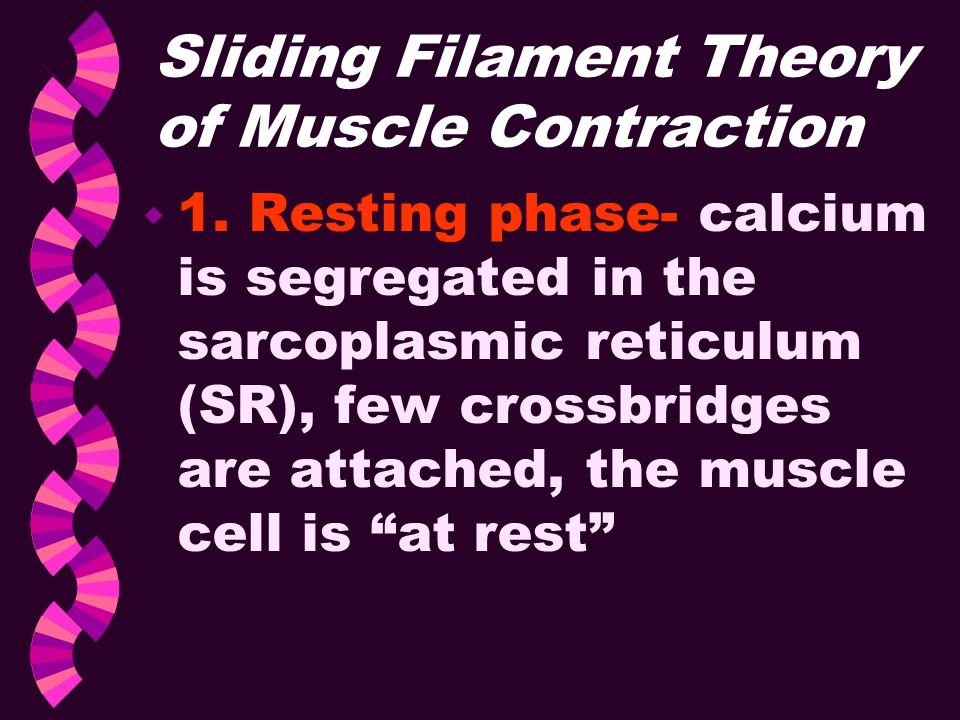 Sliding Filament Theory of Muscle Contraction w 1. Resting phase- calcium is segregated in the sarcoplasmic reticulum (SR), few crossbridges are attac