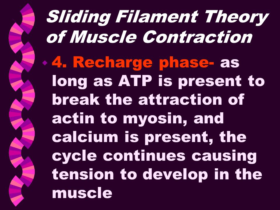 Sliding Filament Theory of Muscle Contraction w 4. Recharge phase- as long as ATP is present to break the attraction of actin to myosin, and calcium i