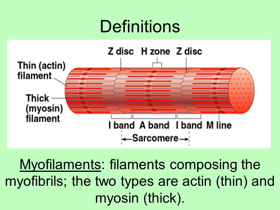 Definitions Myofilaments: filaments composing the myofibrils; the two types are actin (thin) and myosin (thick).