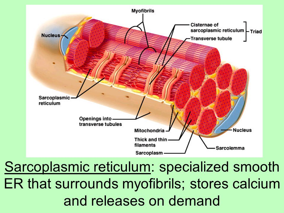 Sarcoplasmic reticulum: specialized smooth ER that surrounds myofibrils; stores calcium and releases on demand