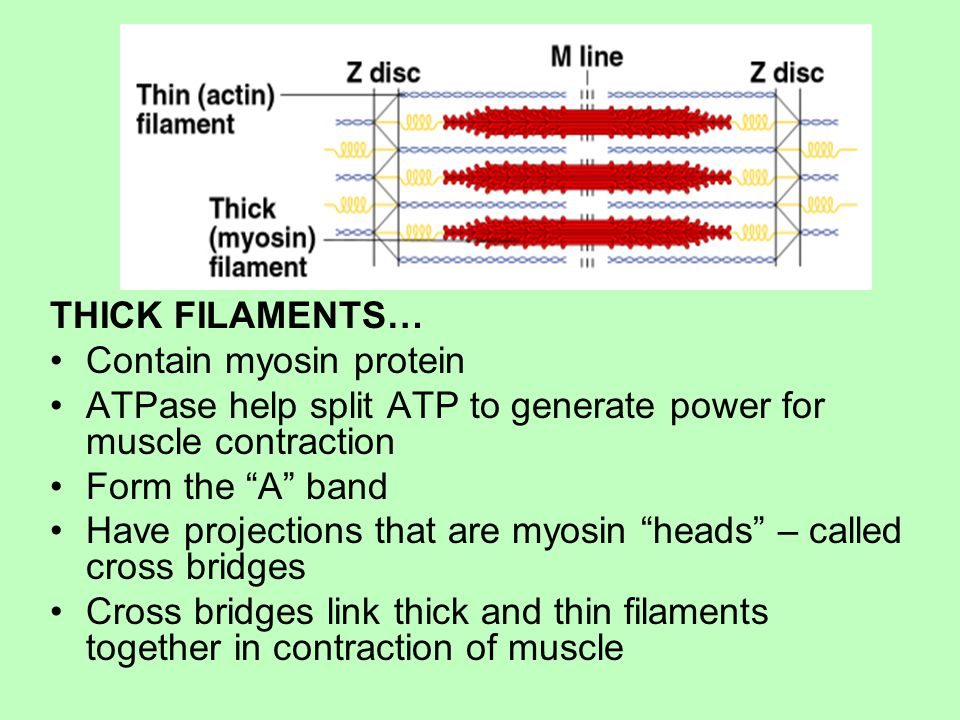 THICK FILAMENTS… Contain myosin protein ATPase help split ATP to generate power for muscle contraction Form the A band Have projections that are myosin heads – called cross bridges Cross bridges link thick and thin filaments together in contraction of muscle