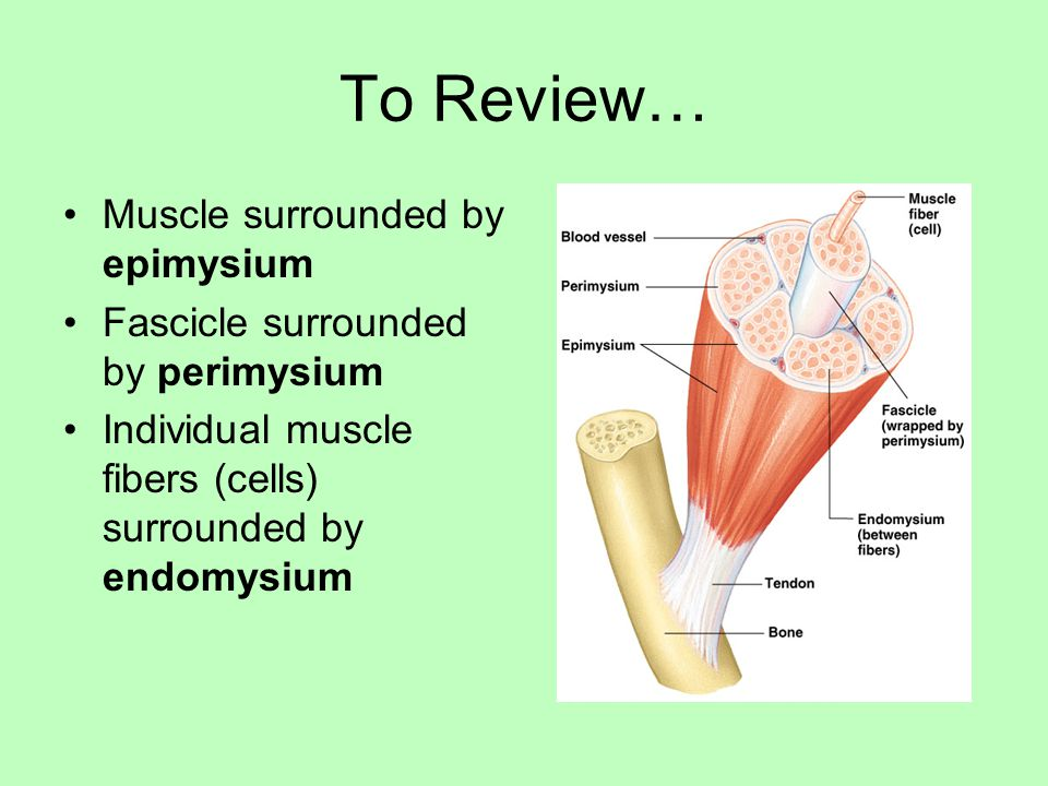 To Review… Muscle surrounded by epimysium Fascicle surrounded by perimysium Individual muscle fibers (cells) surrounded by endomysium