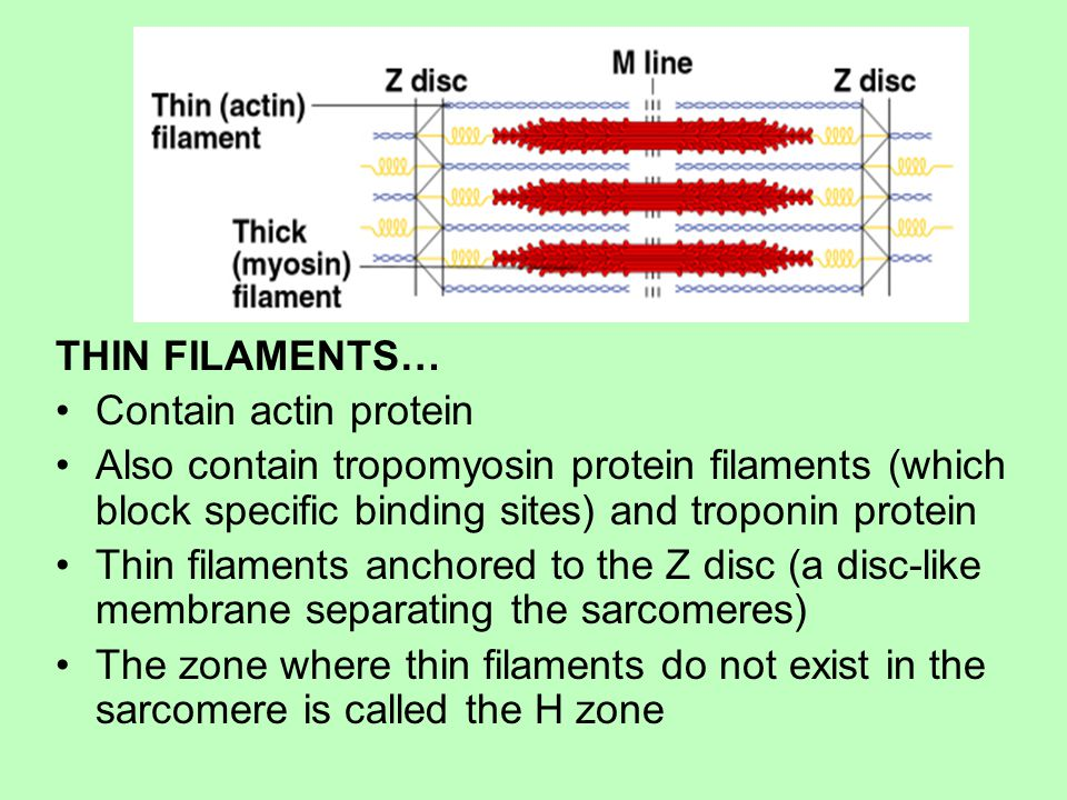 THIN FILAMENTS… Contain actin protein Also contain tropomyosin protein filaments (which block specific binding sites) and troponin protein Thin filaments anchored to the Z disc (a disc-like membrane separating the sarcomeres) The zone where thin filaments do not exist in the sarcomere is called the H zone
