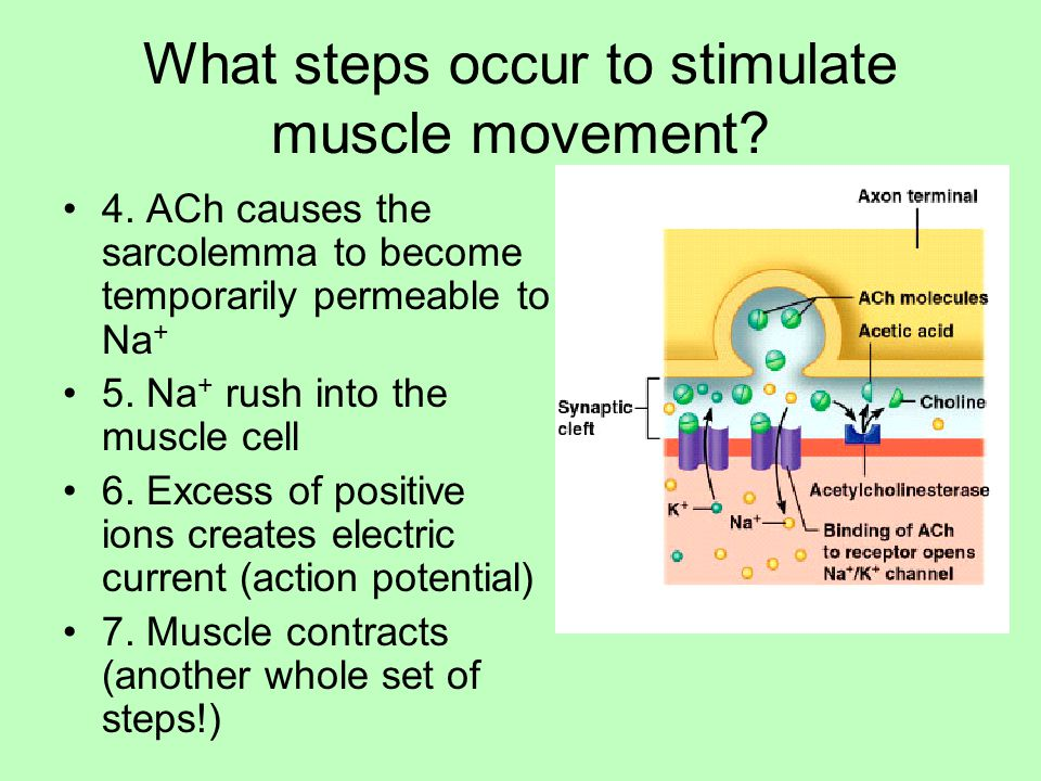 What steps occur to stimulate muscle movement.4.