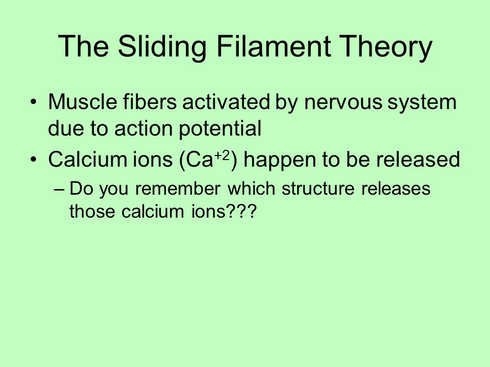 The Sliding Filament Theory Muscle fibers activated by nervous system due to action potential Calcium ions (Ca +2 ) happen to be released –Do you remember which structure releases those calcium ions???