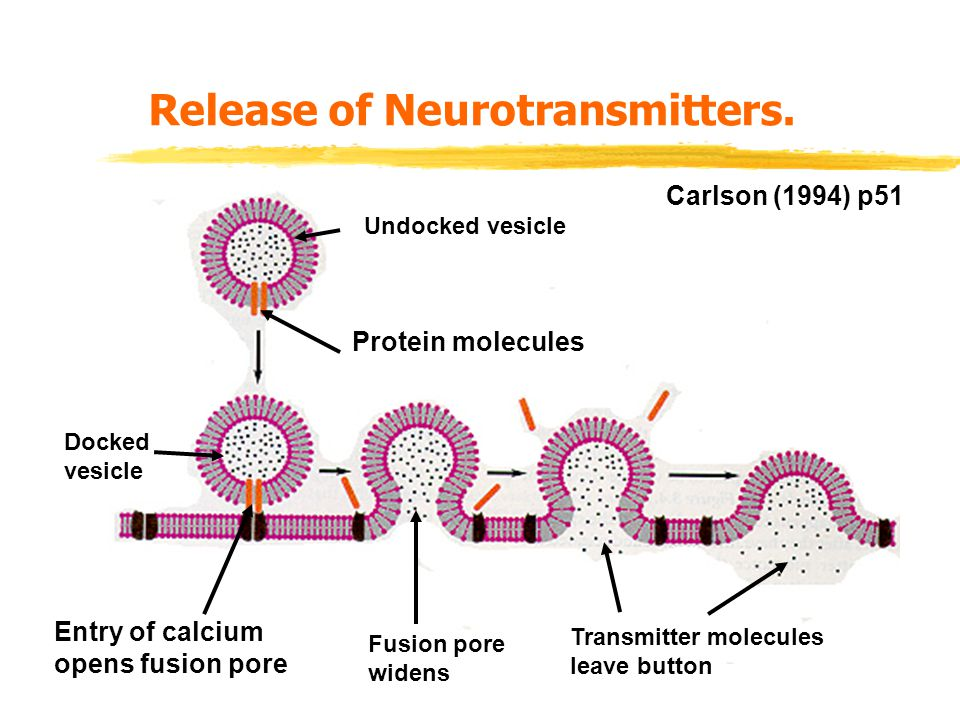 Release of Neurotransmitters.