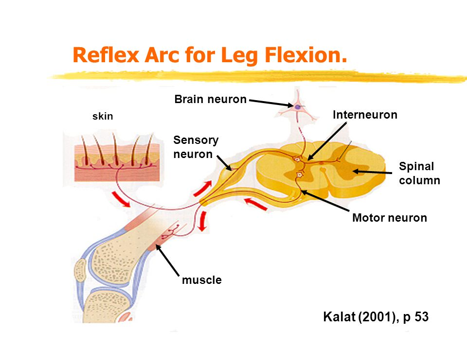 Reflex Arc for Leg Flexion.