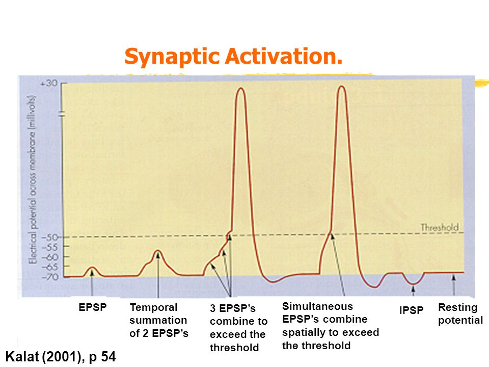 Synaptic Activation.