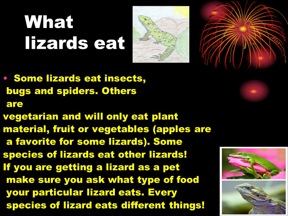 What lizards eat Some lizards eat insects, bugs and spiders. Others are vegetarian and will only eat plant material, fruit or vegetables (apples are a