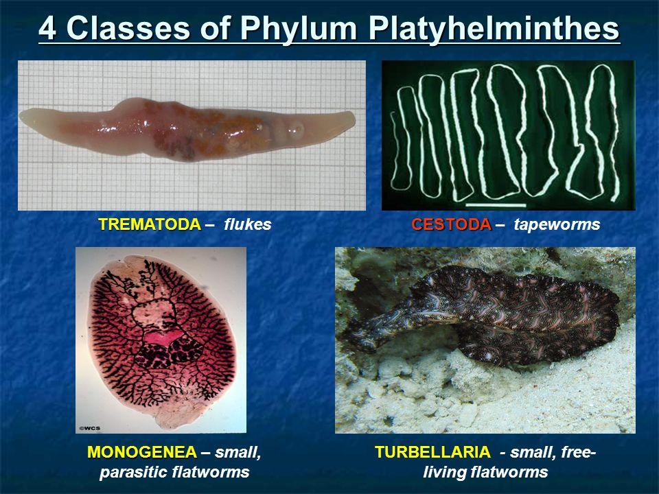 4 Classes of Phylum Platyhelminthes TREMATODA TREMATODA – flukes CESTODA CESTODA – tapeworms MONOGENEA MONOGENEA – small, parasitic flatworms TURBELLARIA TURBELLARIA - small, free- living flatworms