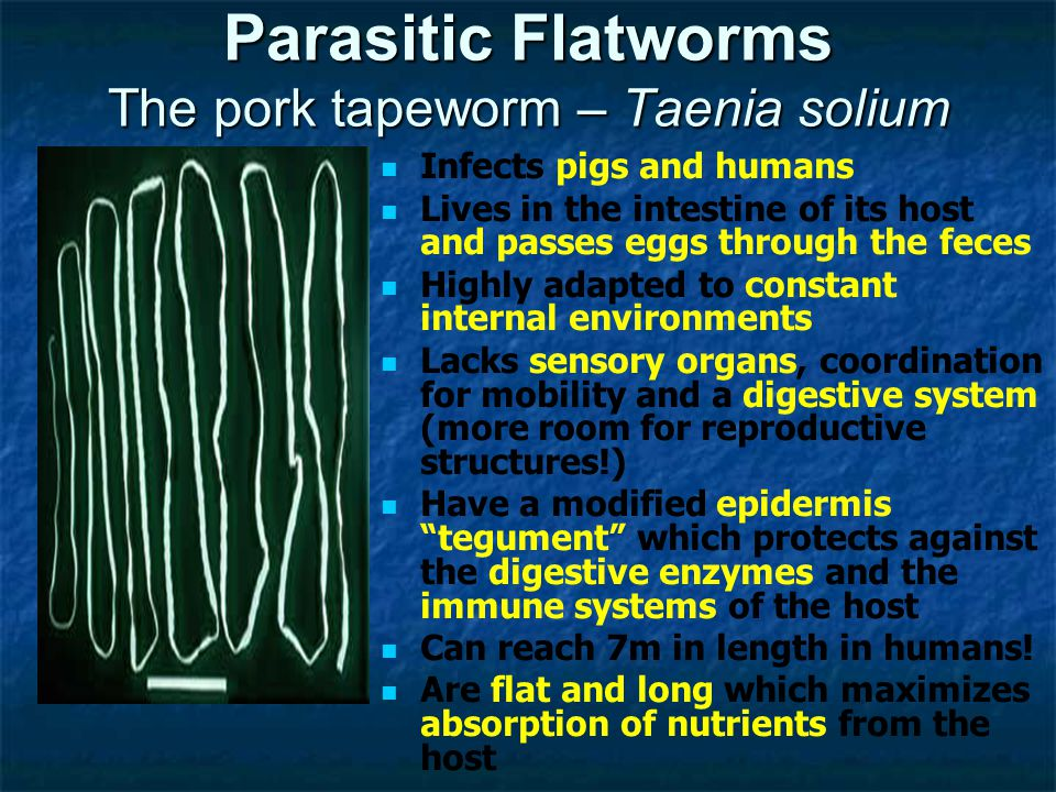 Parasitic Flatworms The pork tapeworm – Taenia solium Infects pigs and humans Lives in the intestine of its host and passes eggs through the feces Highly adapted to constant internal environments Lacks sensory organs, coordination for mobility and a digestive system (more room for reproductive structures!) Have a modified epidermis tegument which protects against the digestive enzymes and the immune systems of the host Can reach 7m in length in humans.