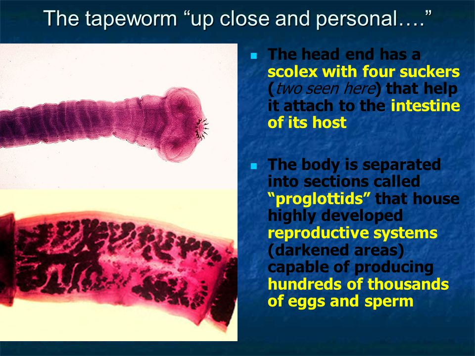 "The tapeworm ""up close and personal…."" The head end has a scolex with four suckers (two seen here) that help it attach to the intestine of its host Th"