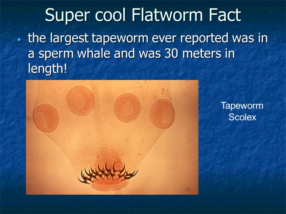 Super cool Flatworm Fact the largest tapeworm ever reported was in a sperm whale and was 30 meters in length! the largest tapeworm ever reported was i