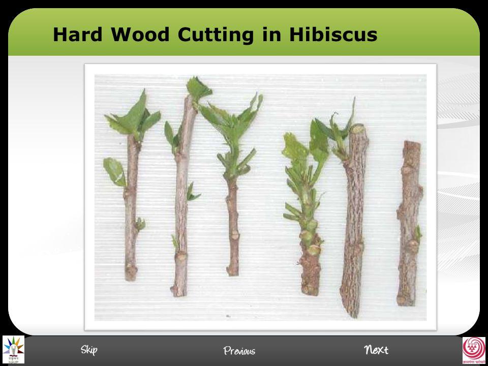 Hard Wood Cutting in Hibiscus