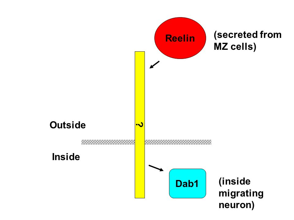 Reelin (secreted from MZ cells) Dab1 Outside Inside (inside migrating neuron)