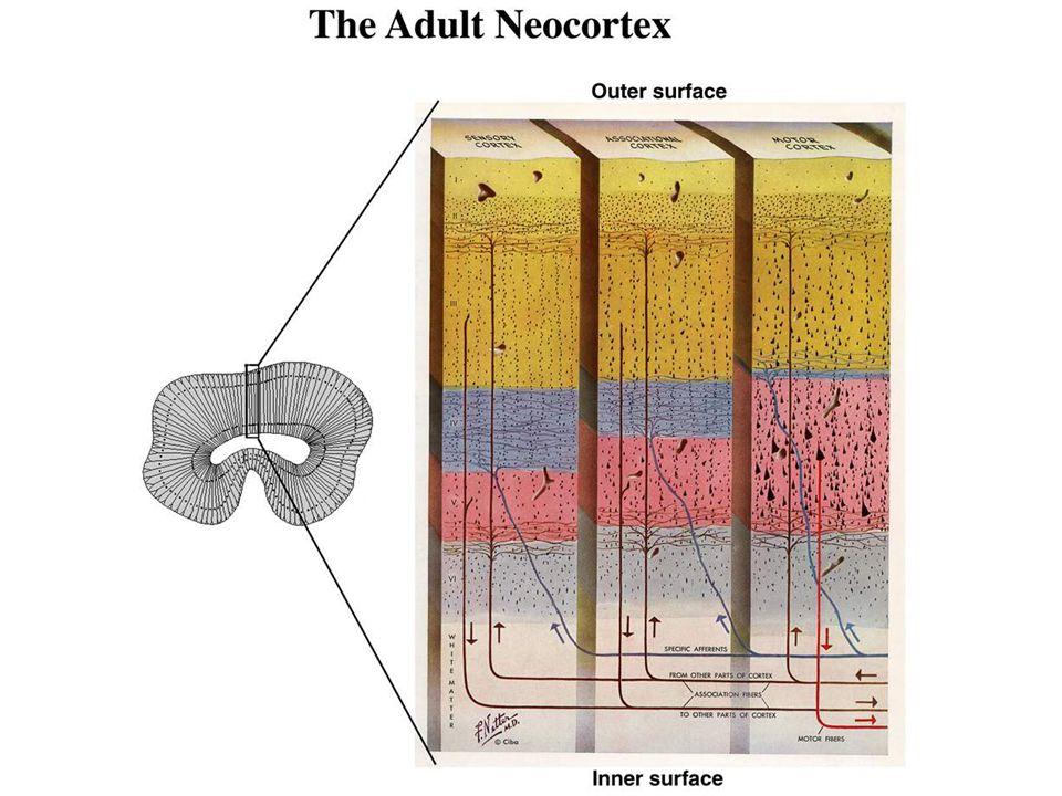 Inside-out programme of neurogenesis