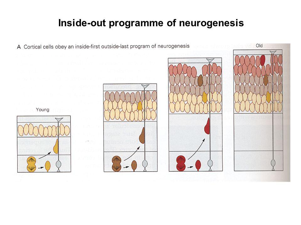VLDLR Reelin (secreted from MZ cells) Dab1 Outside Inside (inside migrating neuron) ApoER2 P