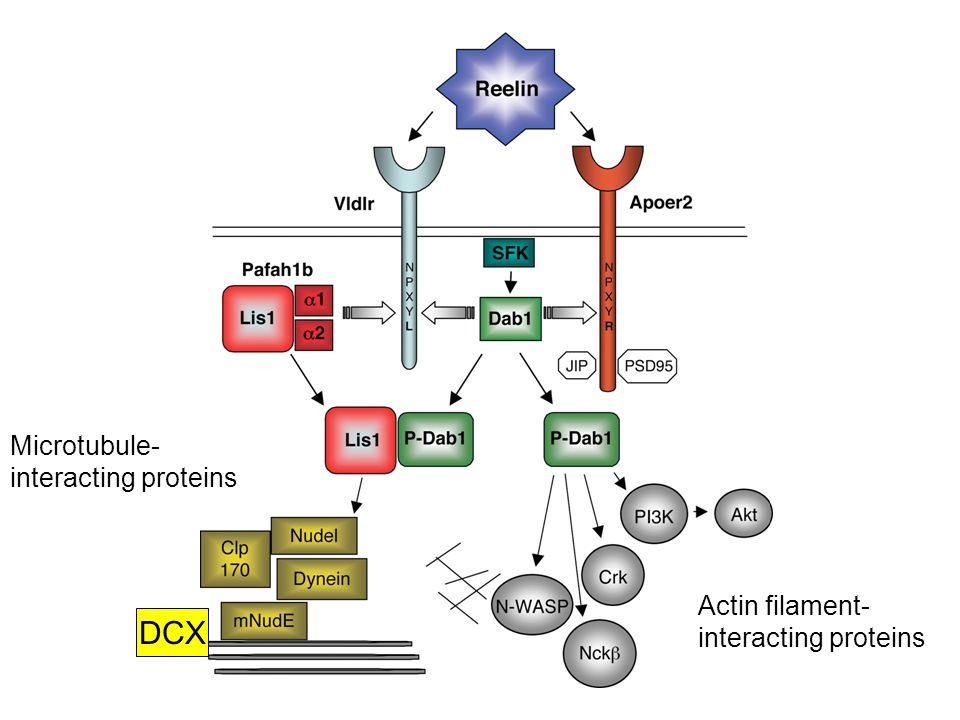 Actin filament- interacting proteins Microtubule- interacting proteins DCX