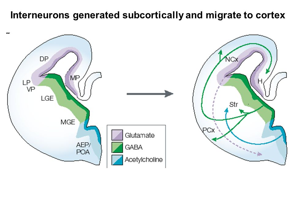 Interneurons generated subcortically and migrate to cortex