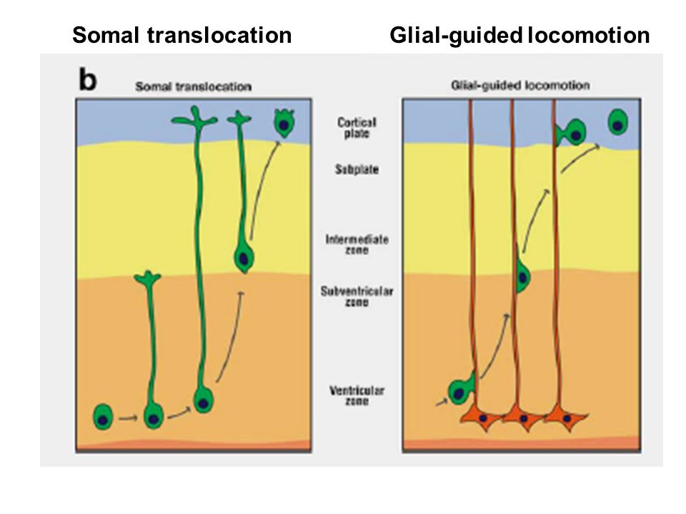 Somal translocationGlial-guided locomotion