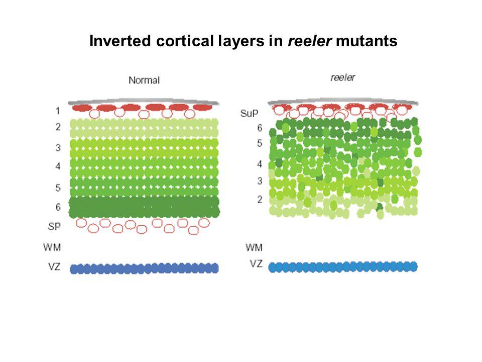 Reeler mutation mapped to gene, named Reelin.