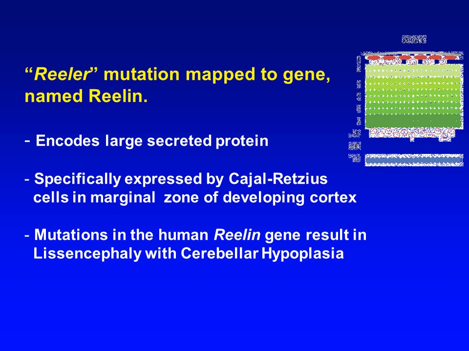Reeler mutation mapped to gene, named Reelin.