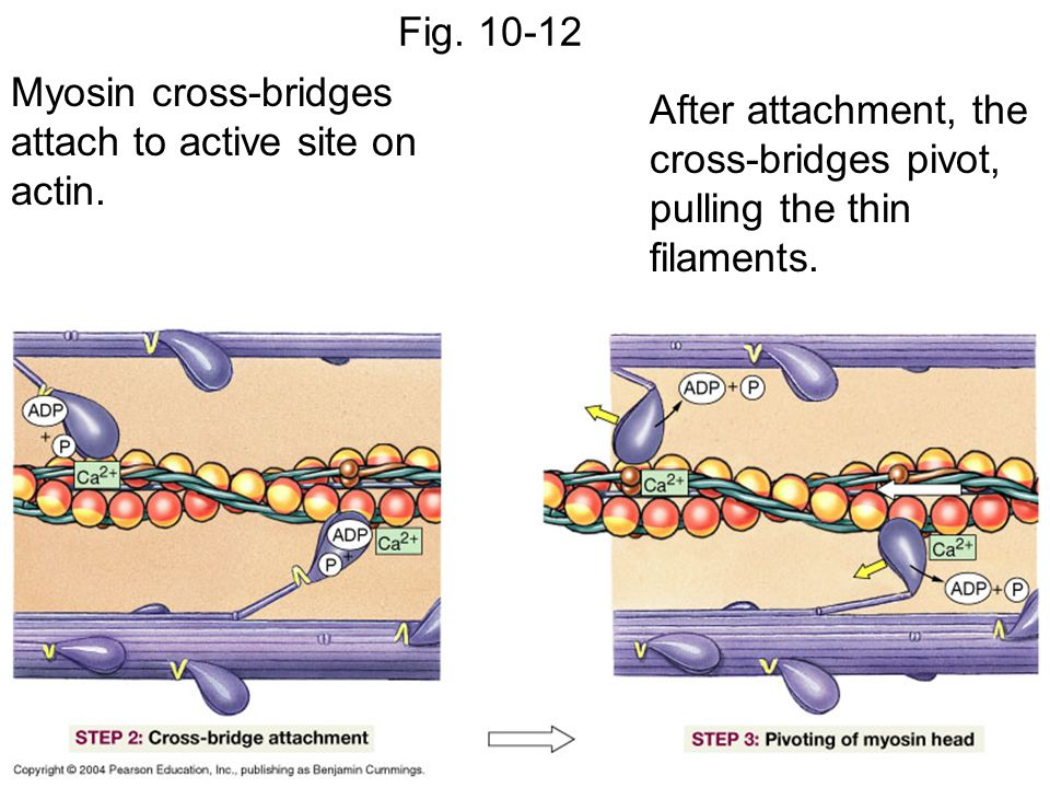 Fig. 10-12 Myosin cross-bridges attach to active site on actin. After attachment, the cross-bridges pivot, pulling the thin filaments.