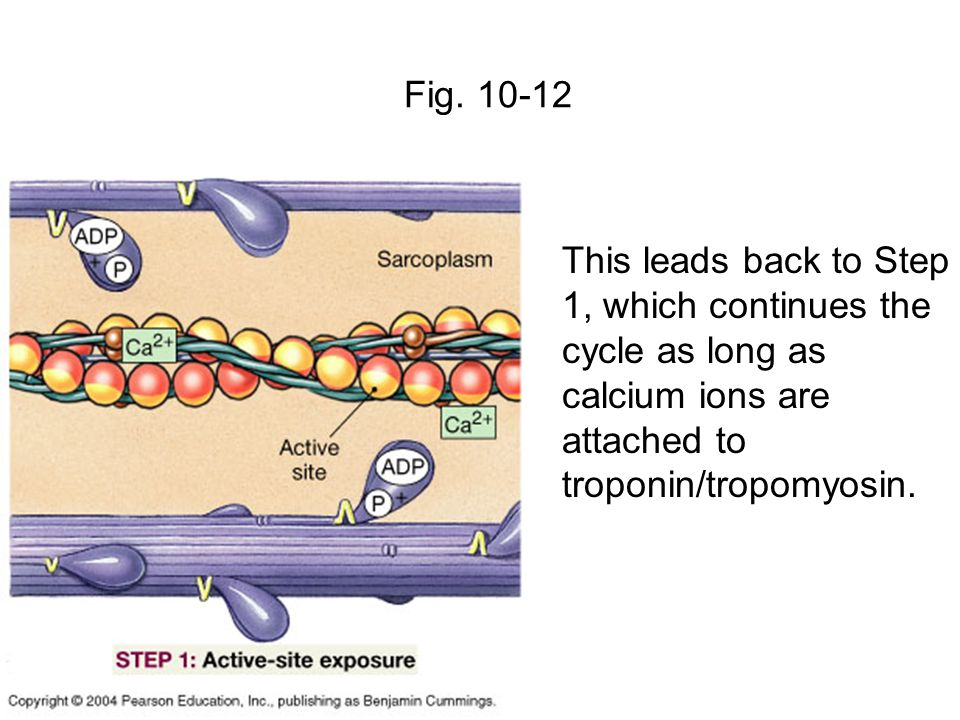 Fig. 10-12 This leads back to Step 1, which continues the cycle as long as calcium ions are attached to troponin/tropomyosin.