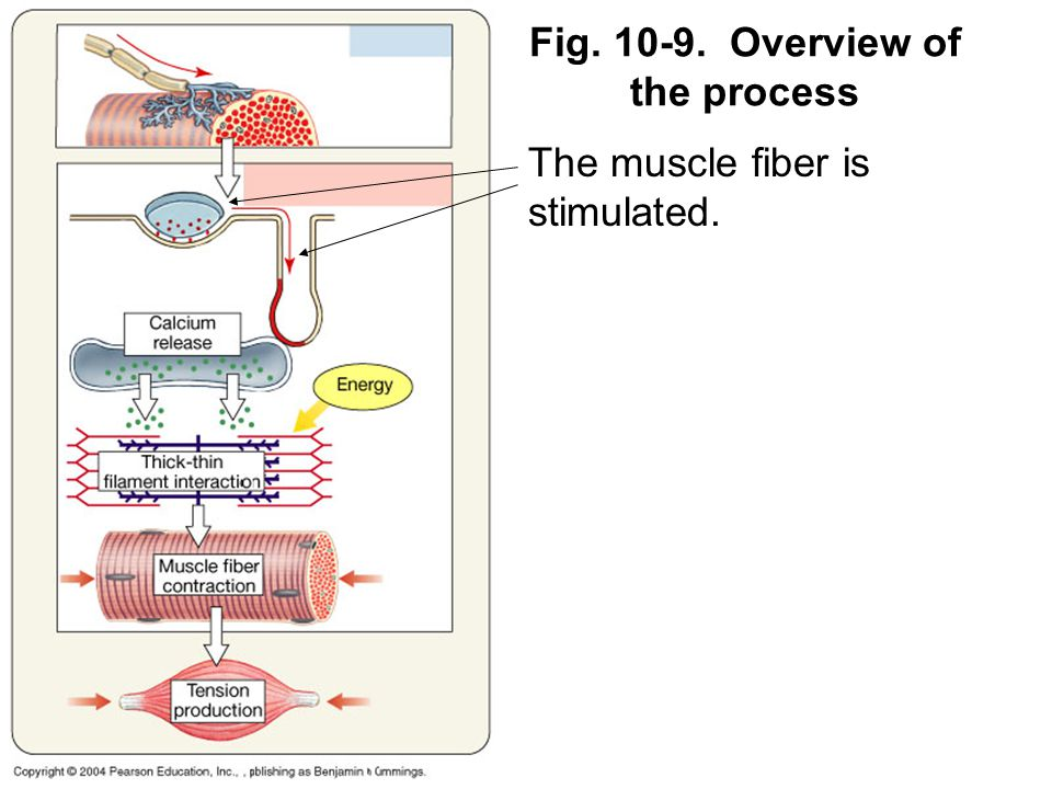 The muscle fiber is stimulated.