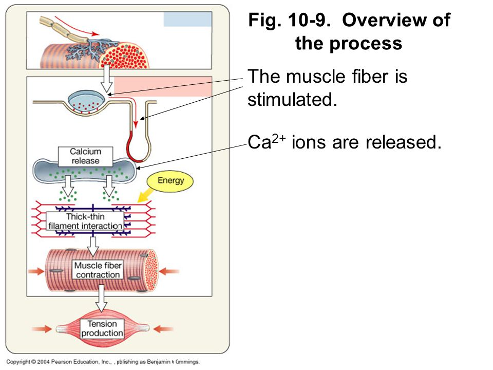Fig. 10-9. Overview of the process The muscle fiber is stimulated. Ca 2+ ions are released.