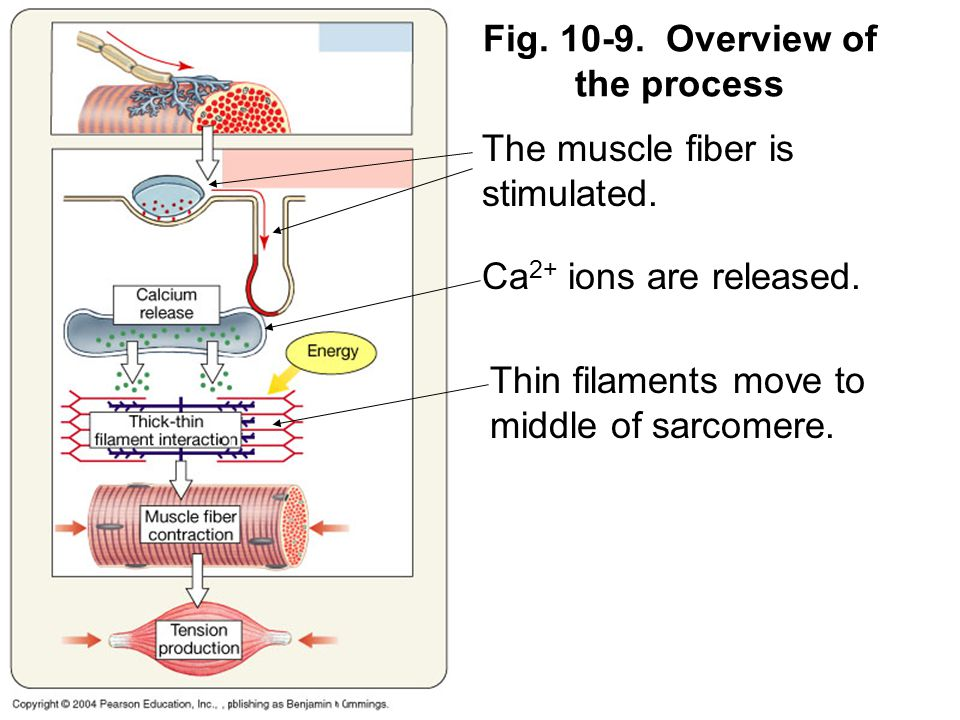 Fig. 10-9. Overview of the process The muscle fiber is stimulated.