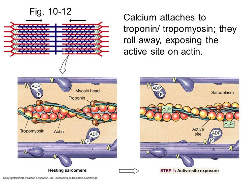 Fig.10-12 Myosin cross-bridges attach to active site on actin.