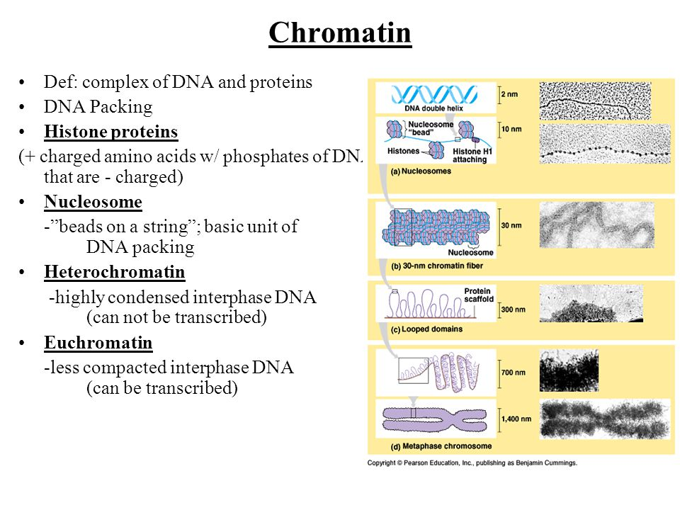 Chromatin Def: complex of DNA and proteins DNA Packing Histone proteins (+ charged amino acids w/ phosphates of DNA that are - charged) Nucleosome - beads on a string ; basic unit of DNA packing Heterochromatin -highly condensed interphase DNA (can not be transcribed) Euchromatin -less compacted interphase DNA (can be transcribed)