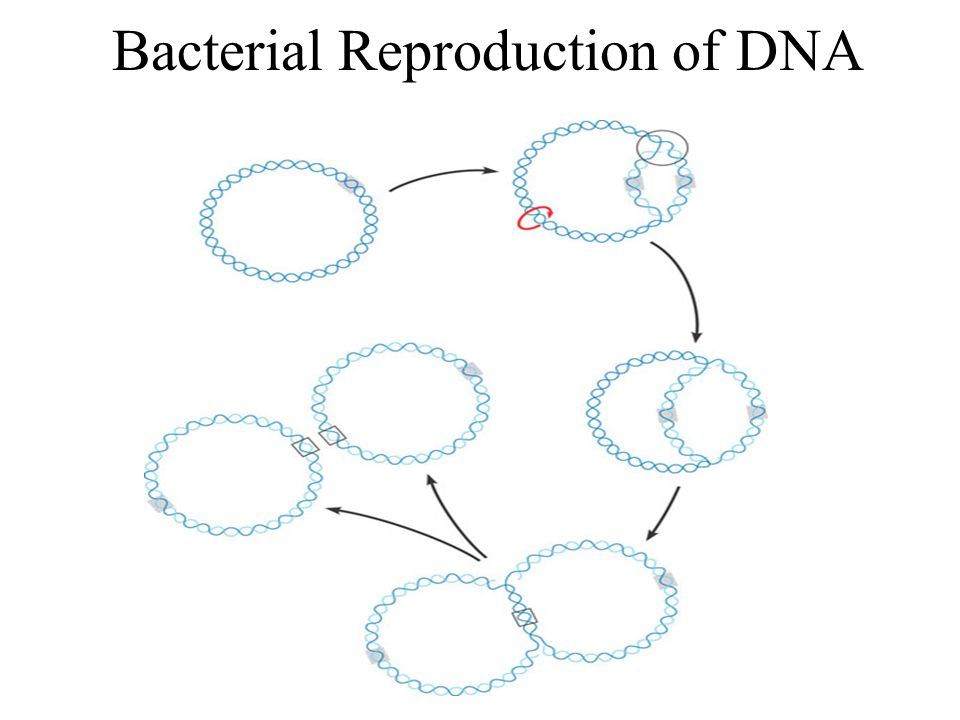 Bacterial Reproduction of DNA