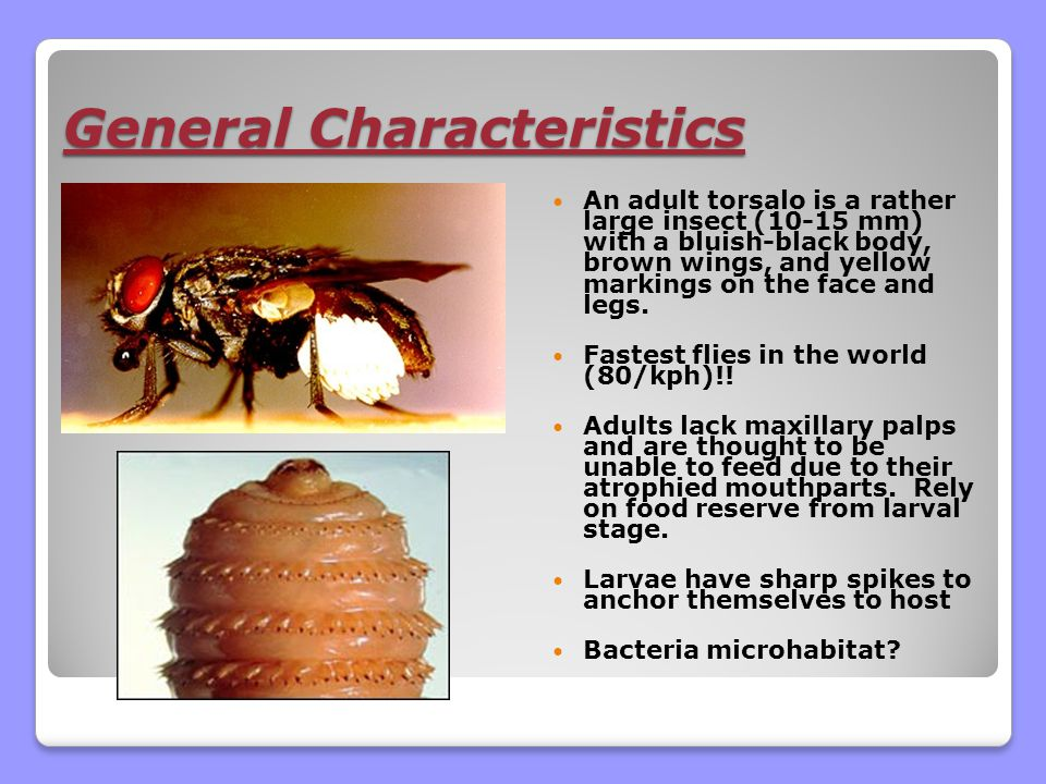 General Characteristics An adult torsalo is a rather large insect (10-15 mm) with a bluish-black body, brown wings, and yellow markings on the face and legs.