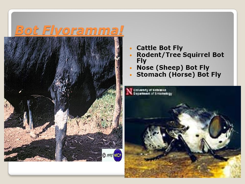 Bot Flyoramma! Cattle Bot Fly Rodent/Tree Squirrel Bot Fly Nose (Sheep) Bot Fly Stomach (Horse) Bot Fly